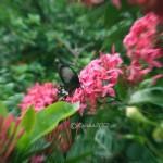Butterfly in my gardan